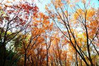 金色的枫树林