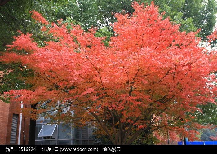 一棵红红的枫树图片