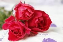 三朵玫红色月季花