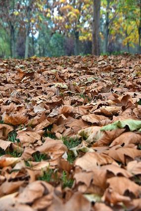 一眼望不到头的枯黄树叶