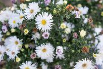 白色菊花簇拥