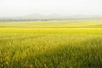 金色的麦田
