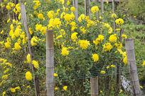 农田里盛放的黄菊花