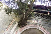 泰山墙上的树