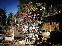 腾冲高山寺的红花油茶