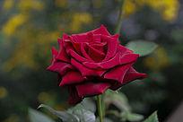 红玫瑰花朵