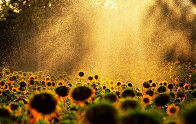 夕阳下的雨滴洒落在葵花上