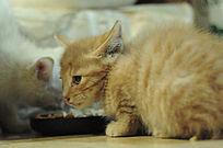 黄色小乳猫