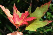 三片红枫叶