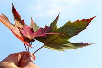 手握红枫叶
