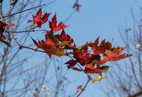 一树枝红枫叶