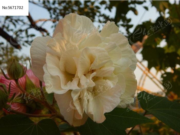 木芙蓉花图片_木芙蓉花的颜色_木芙蓉花图片牡丹花卉