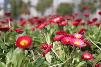 红色野菊花