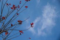 蓝天白云红枫叶