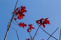 蓝天中飘零的红枫叶