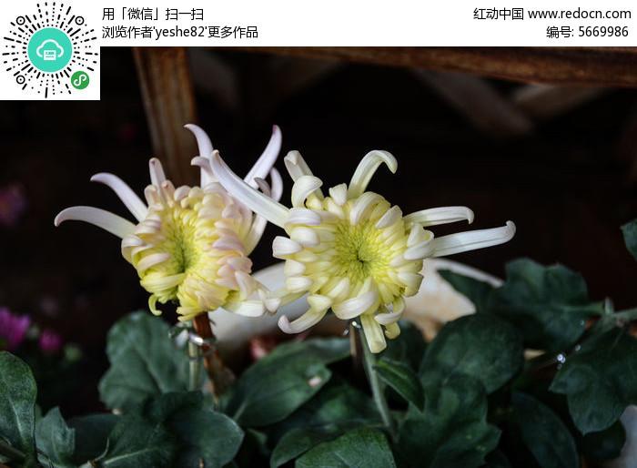两朵白色菊花图片