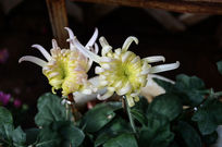 两朵白色菊花
