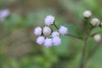 淡紫色的野花摄影图片