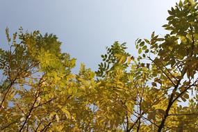 秋天的樹葉攝影圖片