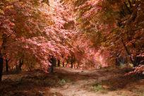 美国红枫林
