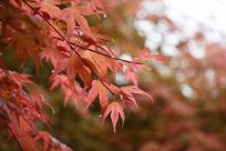 美国红枫叶