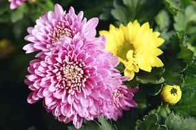 三朵很美的菊花