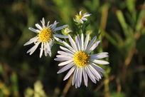 白色野菊花照片