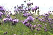多伦草原紫色小野花