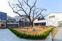 绩溪县博物馆庭院内古树