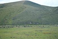 山丘下的牛羊