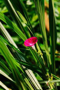 绿草中一朵盛开的牵牛花
