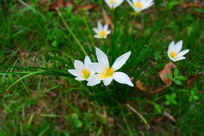 草丛里的白色小花