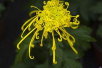 清新的菊花