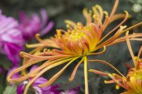 户外的菊花