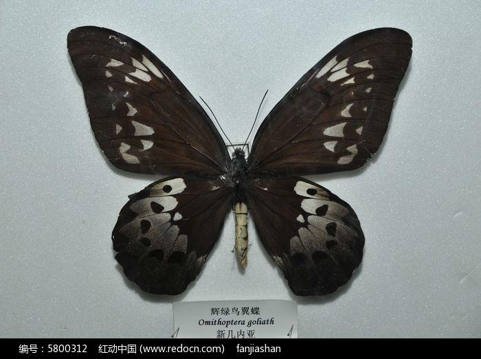 绿鸟翼蝶图片