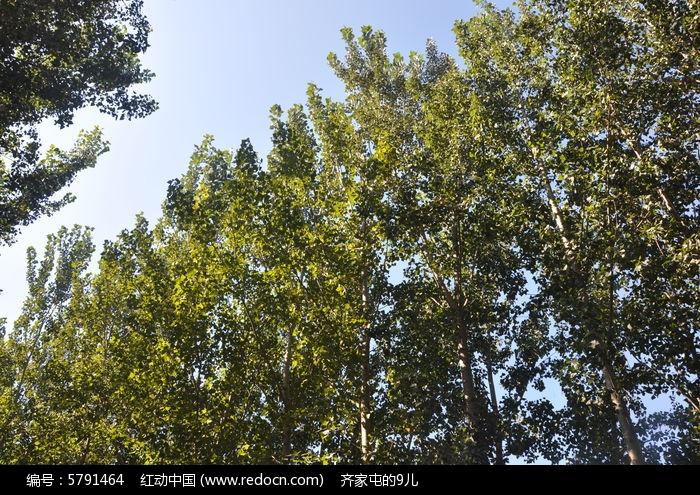 杨树的树冠