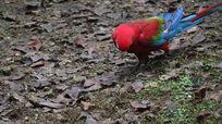 红头金刚鹦鹉