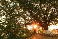 大榕树下清晨明亮阳光