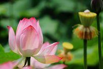 荷花与花蕊