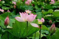 花蕊花苞荷花