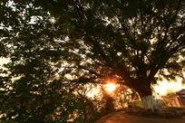 榕树下清晨的阳光
