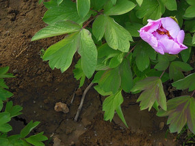 含羞的玫红色牡丹花