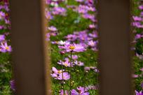 绿草栅栏紫色花朵