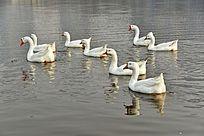 水中的鹅群