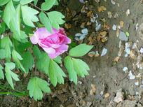 鲜艳的牡丹花
