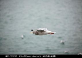自由飞翔的海鸥