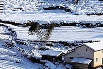 茶园被厚厚的积雪覆盖着
