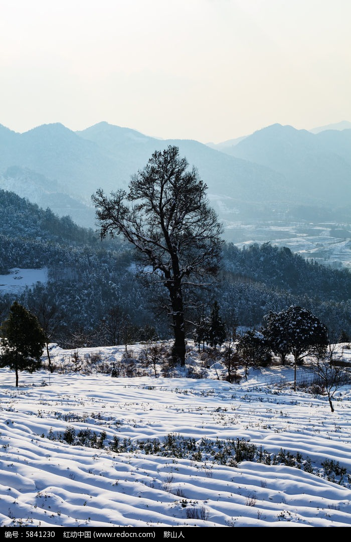 金龙山的茶园被厚厚的积雪覆盖着图片