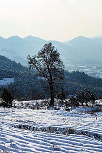 金龙山的茶园被厚厚的积雪覆盖着
