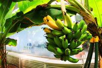 香蕉树上熟香蕉
